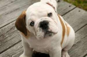 bulldog-inglese-foto-1