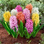 Primavera con i giacinti